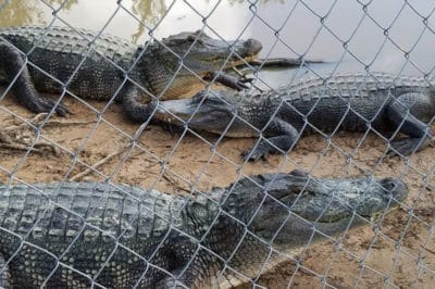Alligator Sanctuary On High Alert As Floodwaters Threaten To Unleash 350 Gators