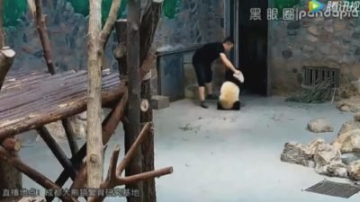 Footage Shows Pandas Being Abused At Infamous Chinese Breeding Center [Watch]