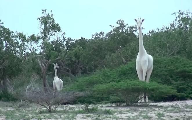Enchanting Snowy White Giraffes Filmed In Kenya  White-Giraffes-Spotted-Kenya-1
