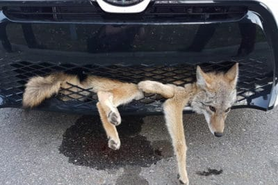 Coyote Lets Everyone Know He Isn't Ready To Die After Crazy Car Accident