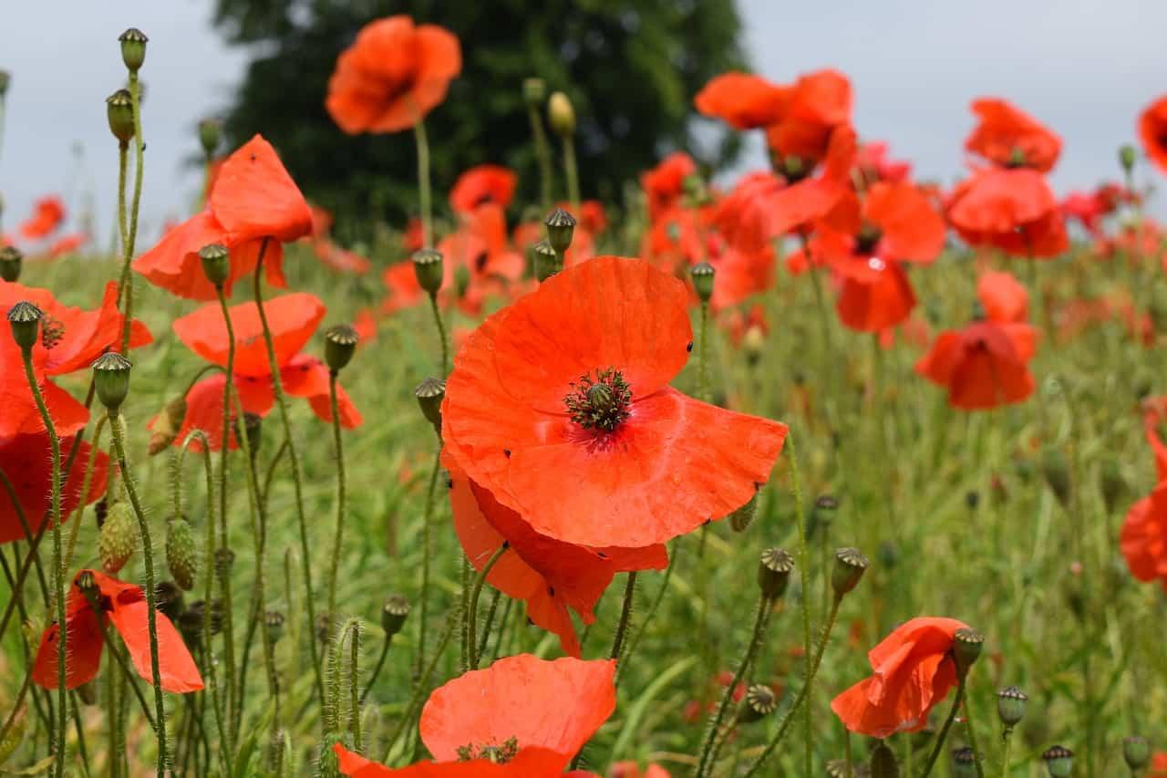 https://pixabay.com/es/adormidera-rojo-campo-naturaleza-2427737/