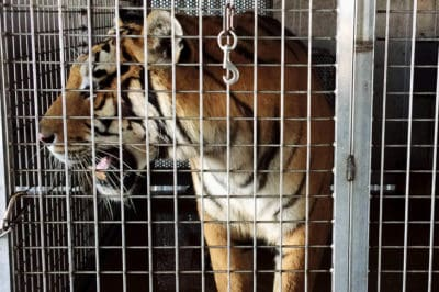 Cops Discover Former Ringling Bros Big Cats Locked Inside Hot Arkansas Barn