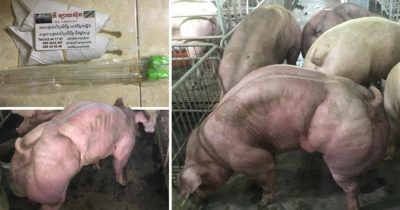 Cambodian Farm Goes Viral After Breeding Mutant-Like Pigs That Have Huge Muscles