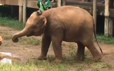 Curious Baby Elephant Tries On Caretaker's Sandals In Adorable Video