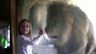 Zoo Lion's Response To Little Girl's Kiss Is Proof Animals Don't Belong In Captivity [Video]