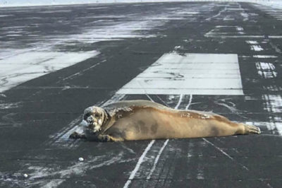 450-Pound Seal Decides To Nap At The Airport, Delaying Flights In The Process